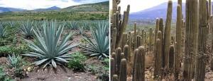 текилу не далеают из кактусов фото