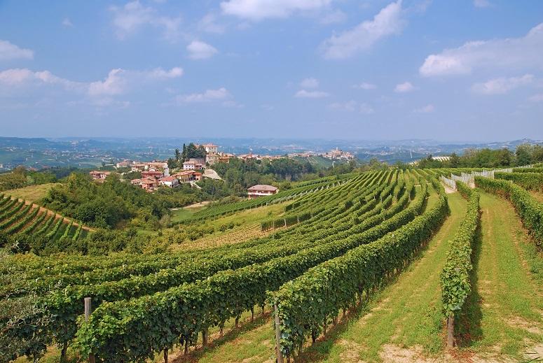 Виноградник Пьемонта фото