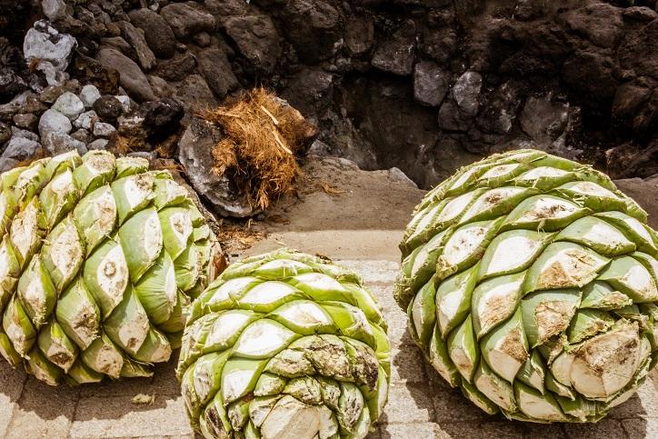 фото агавы для производства Мескаля