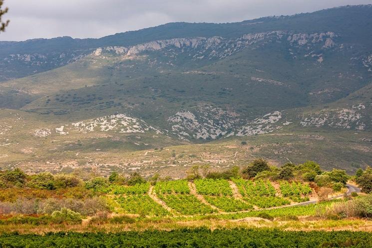 фото виноградника в Лангедоке