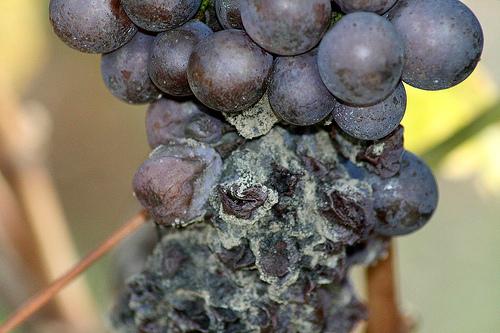 фото заплесневевшего винограда