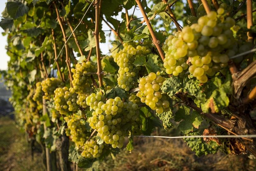 фото сорта винограда рислинг