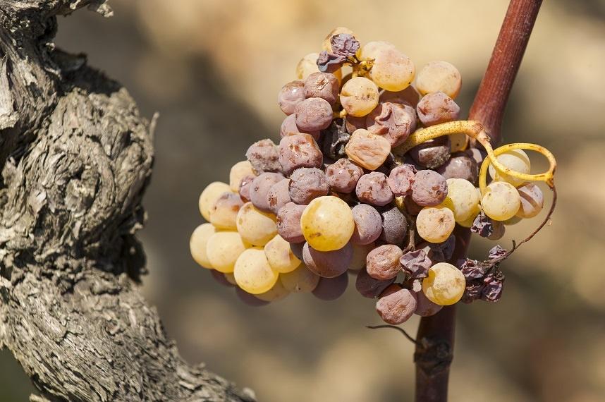 виноград для производства вина сотерн