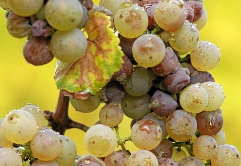 фото винограда, покрывшегося плесенью для сотерна