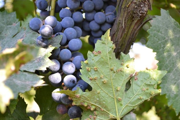 фото филлоксеры на винограде