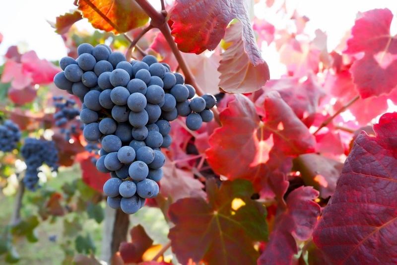фото сорта винограда Ламбруско