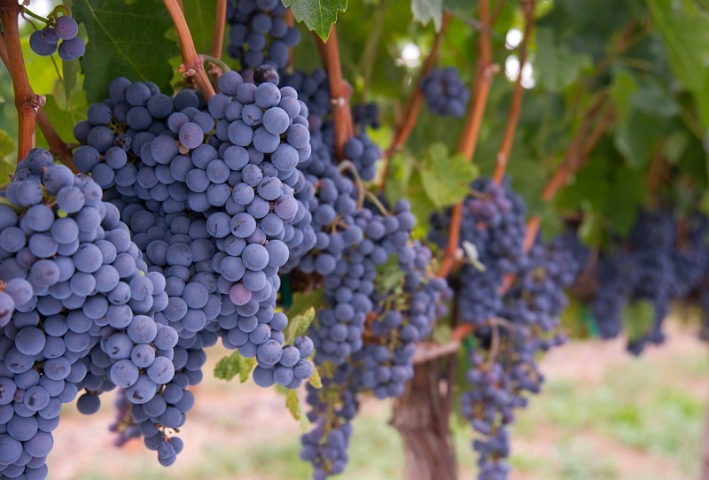 фото сорта винограда Мерло