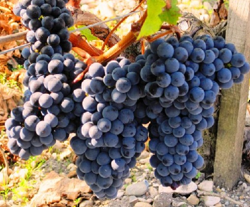 виноград сорта мерло фото