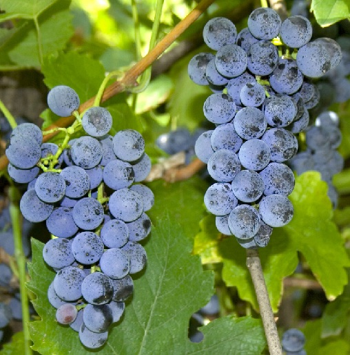 Vitis Labrusca виноград фото
