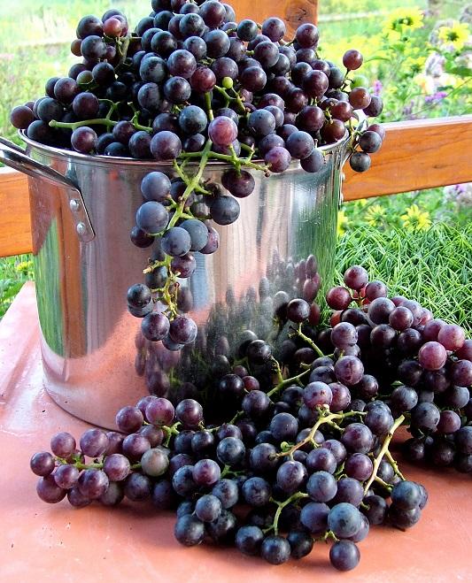 фото сорта винограда Vitis Labrusca