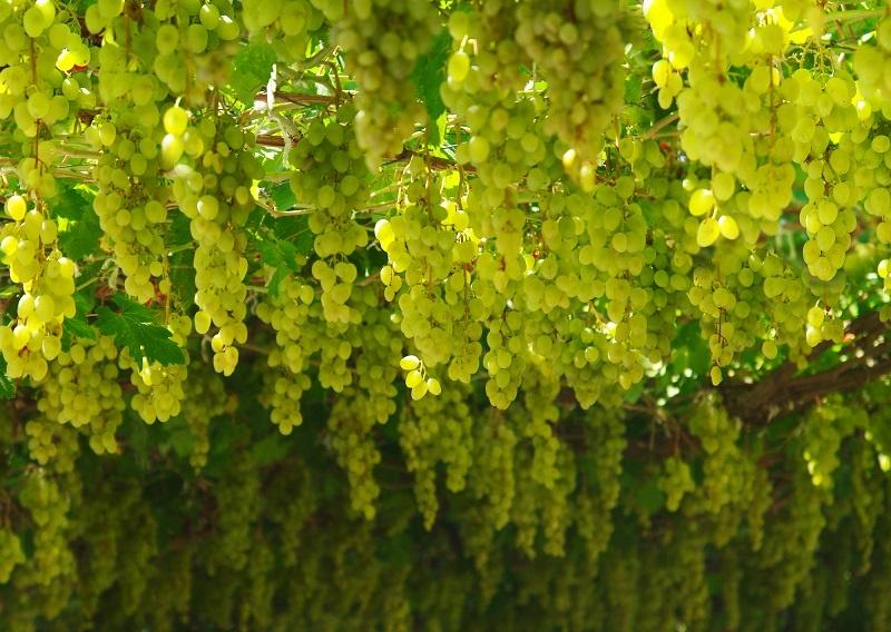 Виноград Шардоне фото
