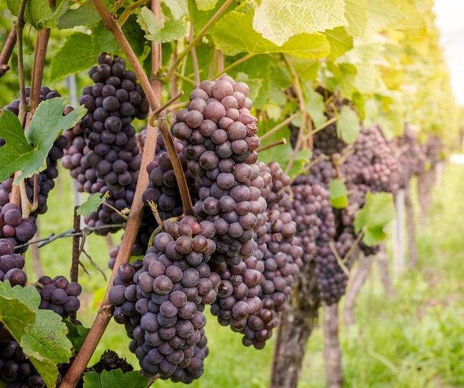 фото винограда сорта Пино Гриджио