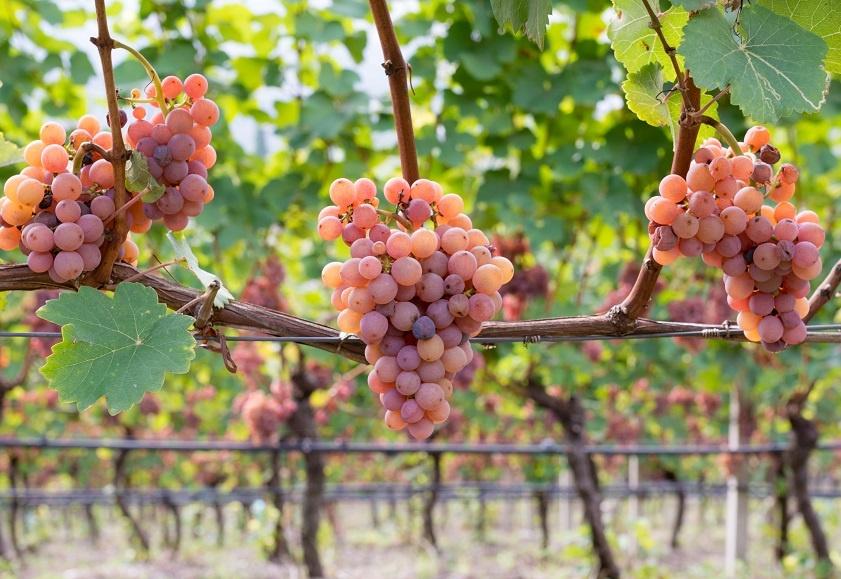 фото сорта винограда Гевюрцтраминер