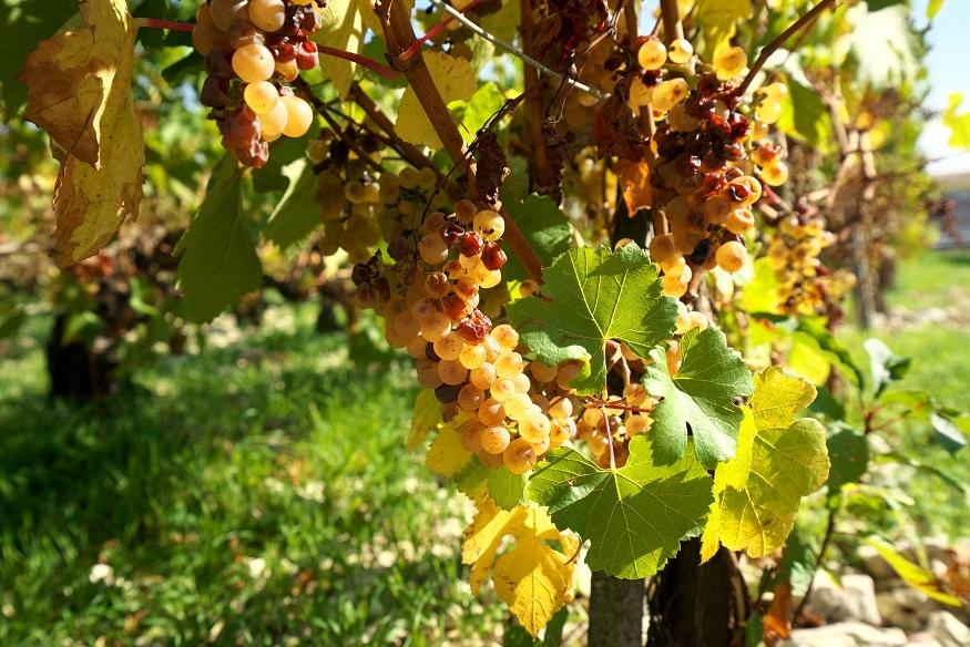 фото винограда сорта Шардоне