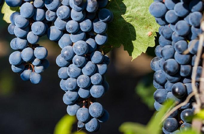 http://alcofan.com/wp-content/uploads/2016/10/yagody-vinograda-kaberne-sovinon.jpg