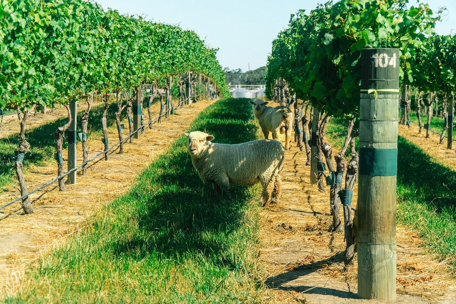 овцы на виноградниках в Новой Зеландии