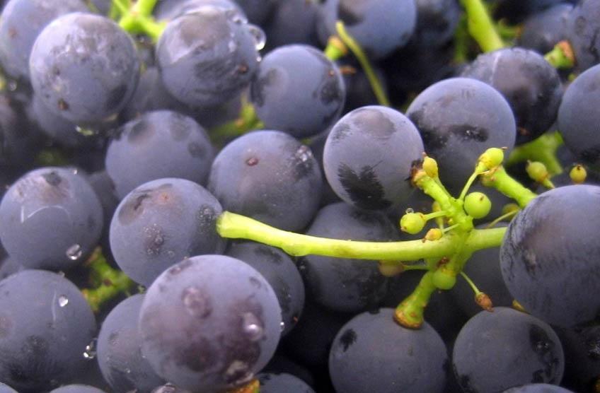 фото дрожжевого налета на винограде