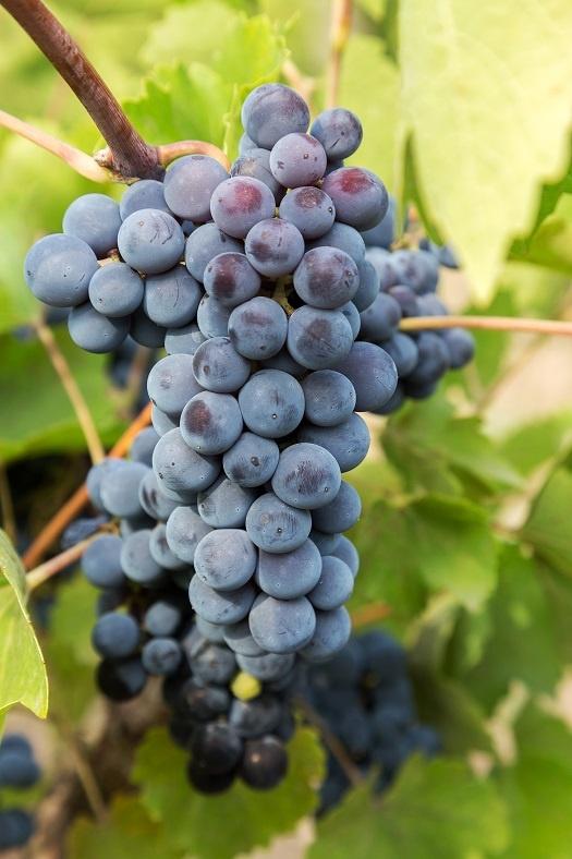 дрожжевой налет на ягодах винограда