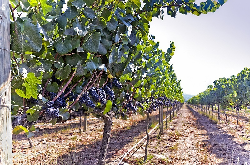 сорт винограда Карменер