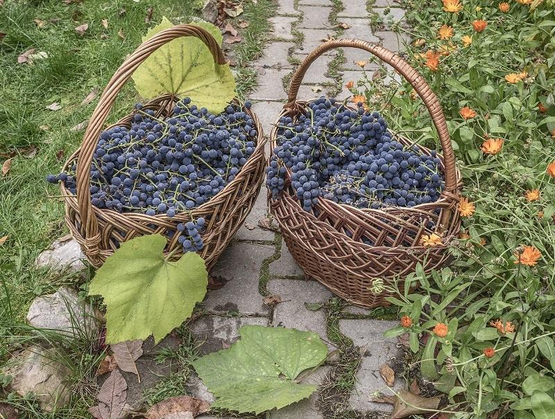 фото винограда для вина лыхны