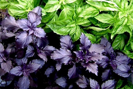 фото зеленого и фиолетового базилика