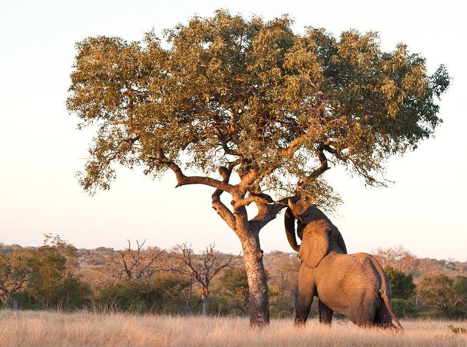 фото слоновьего дерева