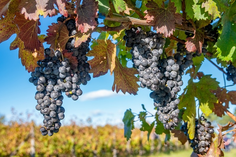 Классический виноград саперави фото