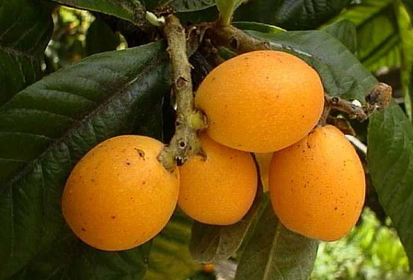 фото плодов амарулы