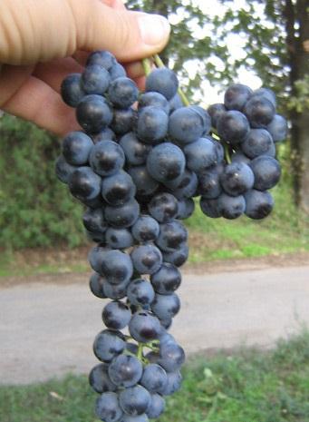 фото винограда сорта саперави