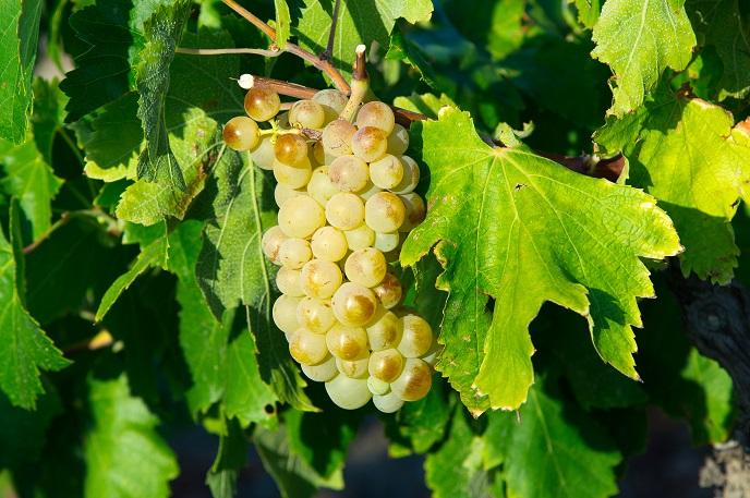 фото винограда сорта Уньи Блан