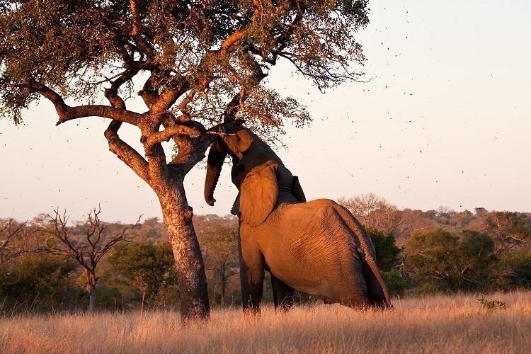 дерево марула и слон
