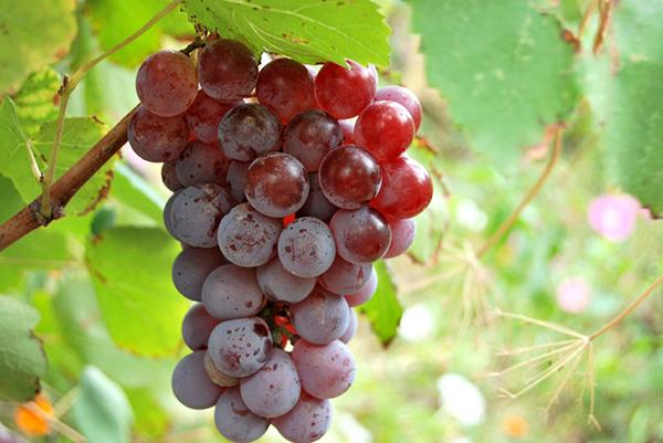 ягоды винограда Лидия фото