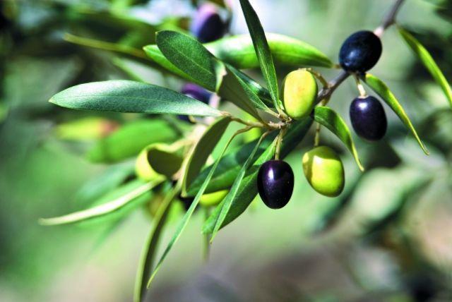 фото оливок и маслин к мартини