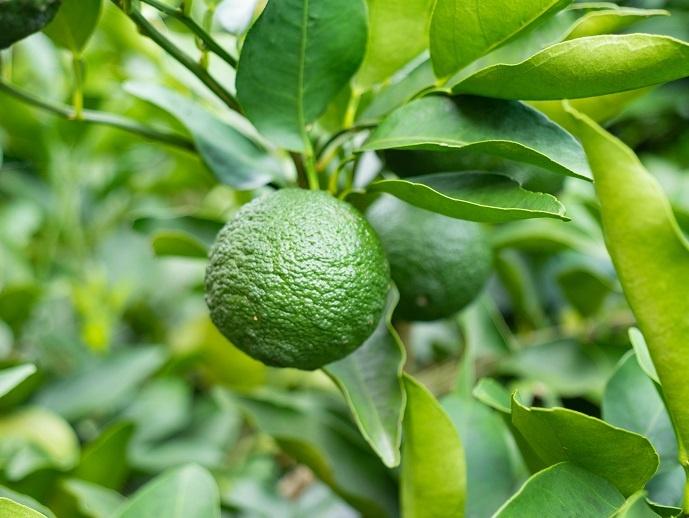 плод апельсина лараха