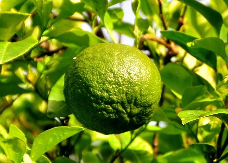 фото плодов цитруса лараха