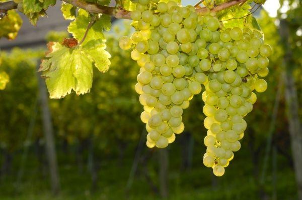 фото сорта винограда совиньон блан