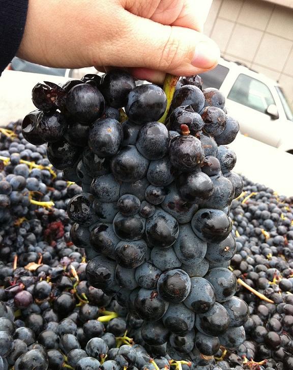фото сорта винограда барбера
