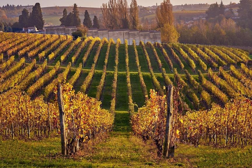 Виноградник сорта Барбера фото