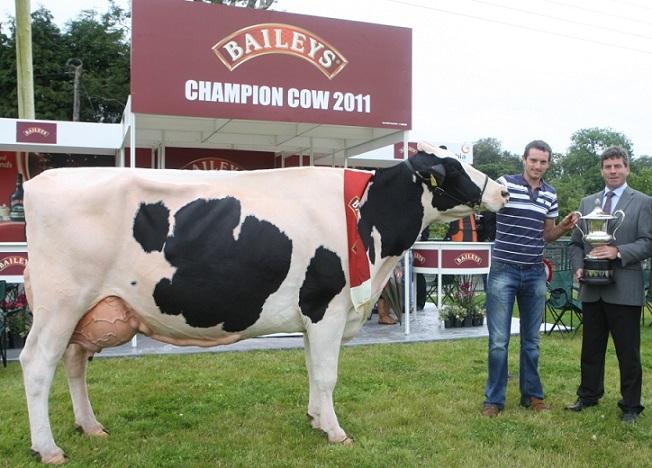 фото коровы, дающей молоко для ликера Бейлис