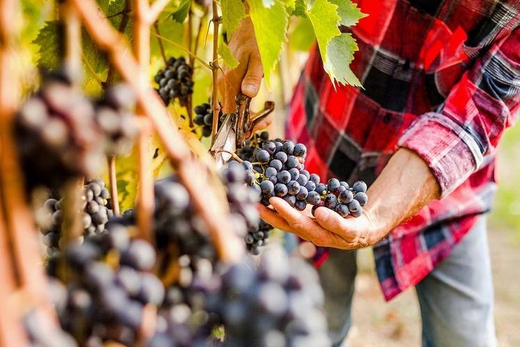 виноград Malvasia nera