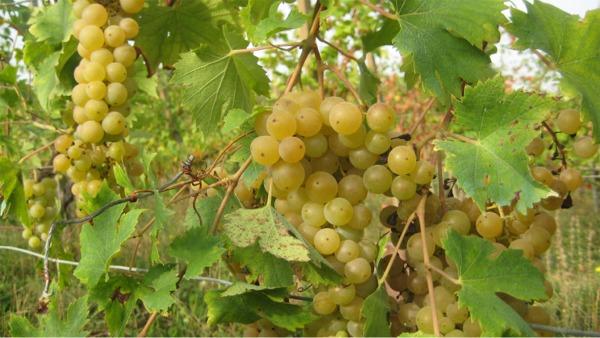 фото винограда мальвазия бьянка