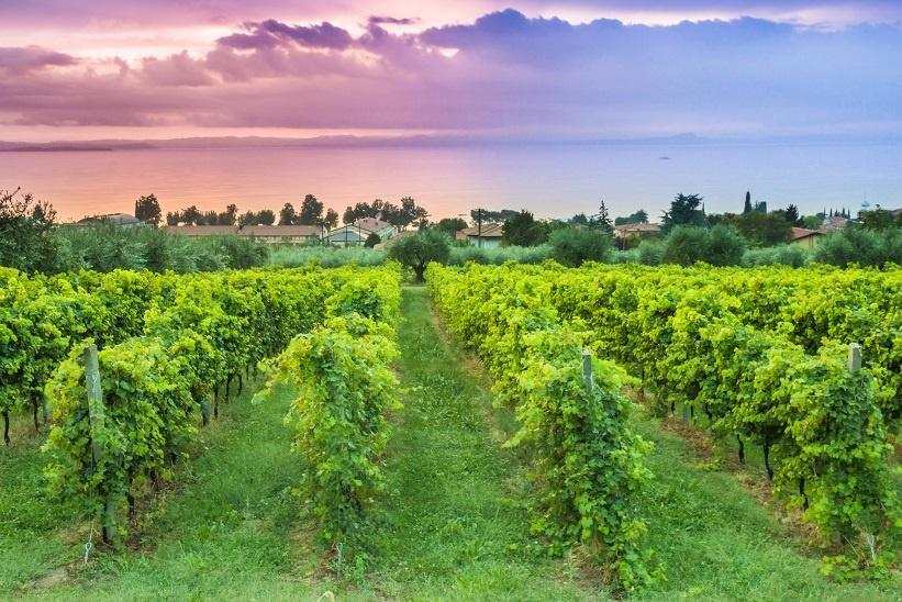 фото виноградника Бардолино