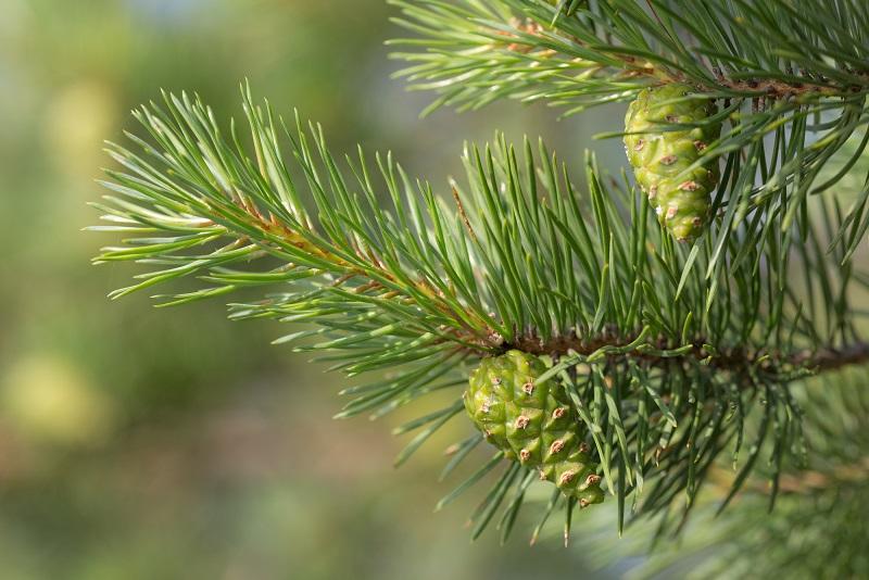 фото зеленых сосновых шишек