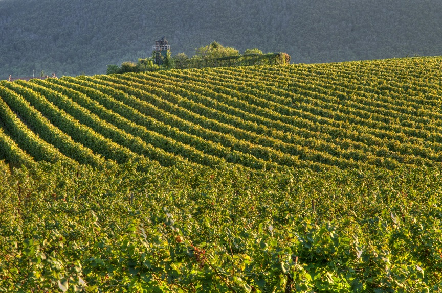 фото виноградника Франчакорты
