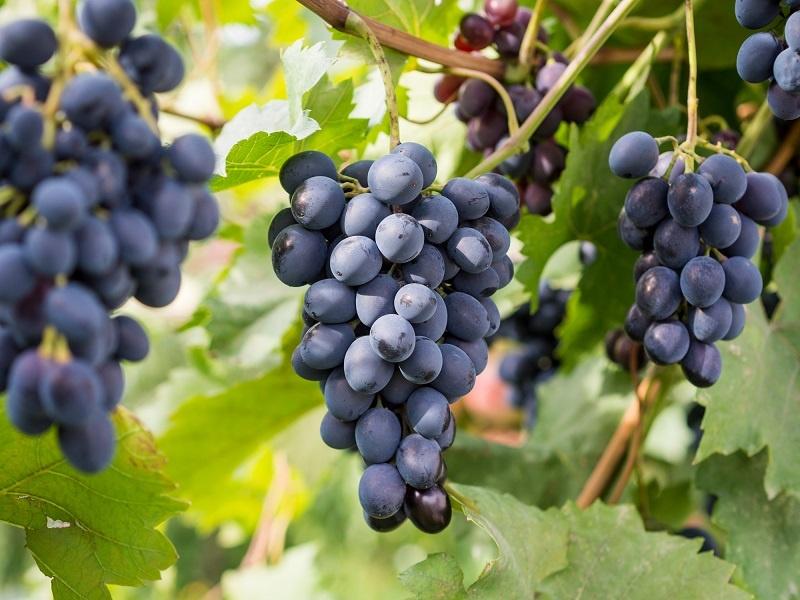 фото винограда для производства вина Пиросмани