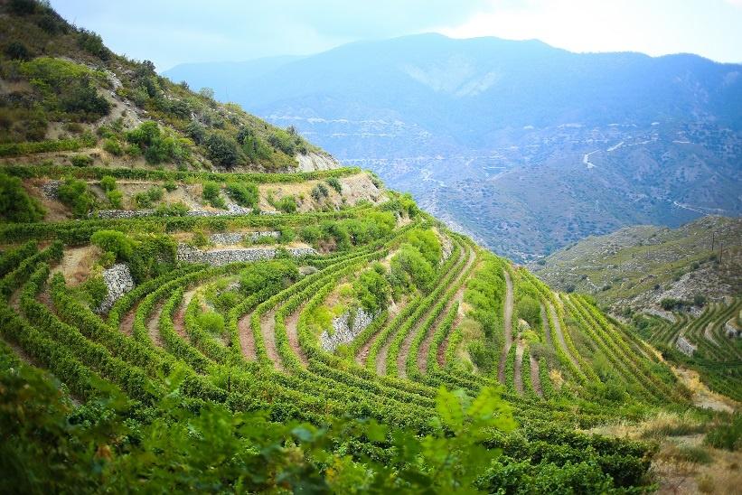 фото виноградника на Кипре