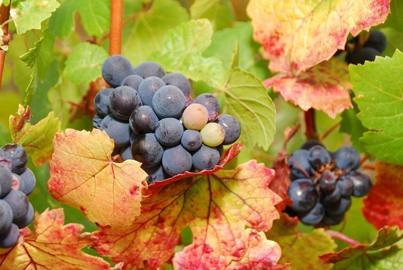 фото бургундского винограда Пино Нуар