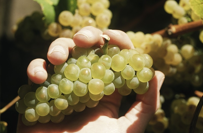 фото бургундского винограда шардоне