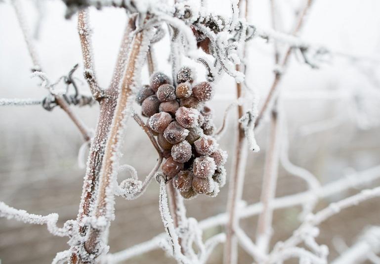 виноград для приготовления ледяного вина