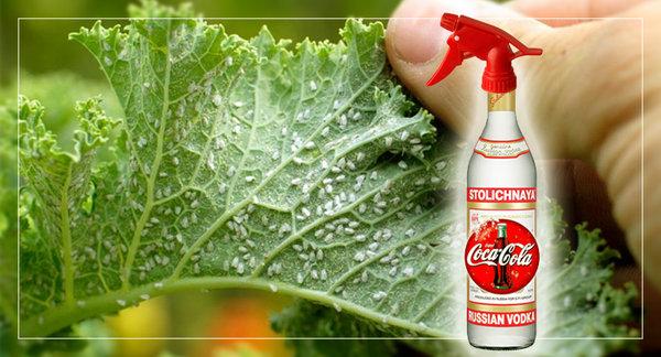 как обрабатывать растения водкой против тли